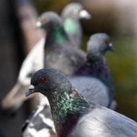 Plagas de palomas en comunidades